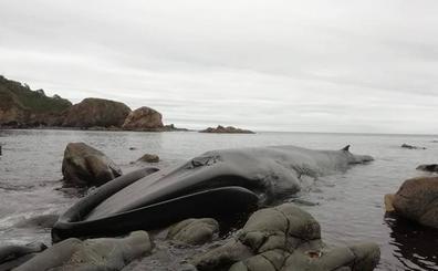 Aparece una ballena de más de 16 metros en Tapia