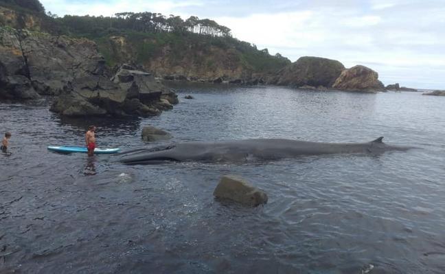 Muere una ballena de 16 metros tras quedar varada en la costa de Tapia