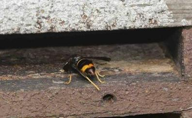 Un especialista en la retirada de nidos de avispa asiática, herido de gravedad por una picadura en Candamo