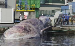 Complicado rescate de la ballena en el puerto de Navia