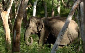 Drástico frenazo al tráfico de elefantes salvajes