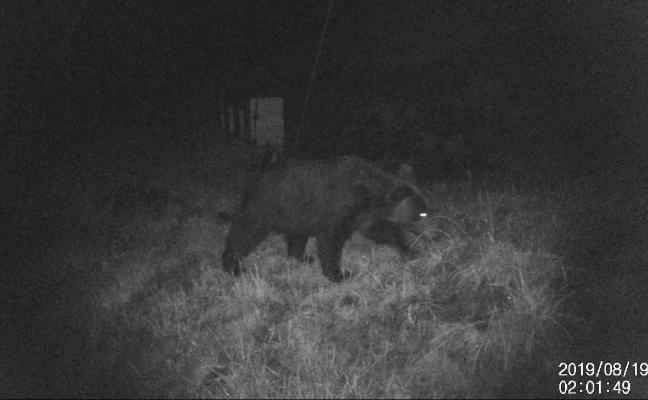 Un oso, 'cazado' en plena búsqueda de miel en Lena