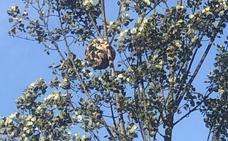 Los vecinos alertan de nidos de avispa asiática en el Entrego, Laviana y Figaredo
