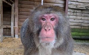 El zoológico El Bosque rescata a un macaco japonés