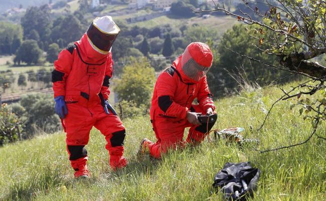 El Principado prevé retirar cerca de 5.000 nidos de avispa asiática este año