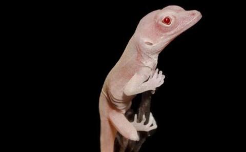 Unas lagartijas albinas, los primeros reptiles modificados genéticamente