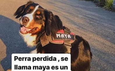 Aparece 'Maya', la perra desaparecida en Cimavilla en Gijón
