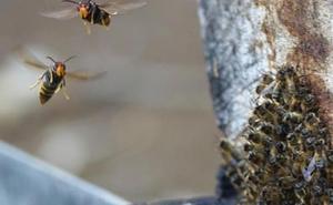 Asturias declara la guerra a las avispas asiáticas