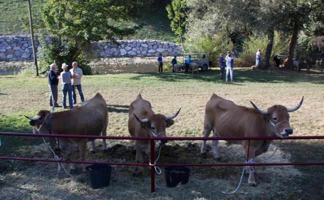 468 reses en el certamen ganadero de San Martín