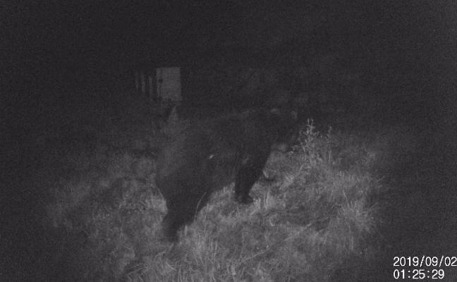 Las cámaras captan el tercer oso en Jomezana de Arriba en tres meses