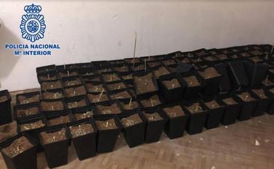 Detenido por cultivar una plantación de marihuana en un bajo de Gijón