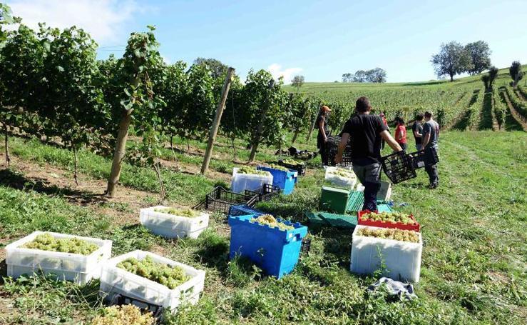 Cinco toneladas de uva parraguesa