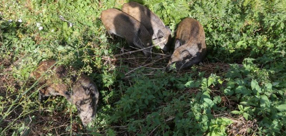 Capturados los cuatro jabalíes de Salinas