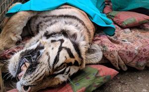 La tigresa Diana, del zoo El Bosque de Oviedo, es operada de nuevo por un tumor cancerígeno