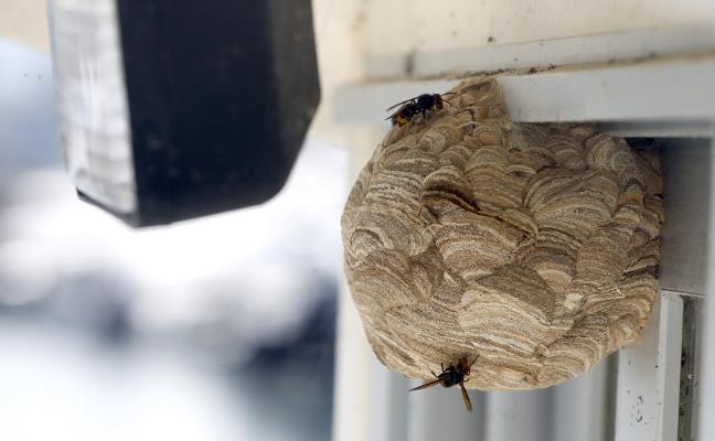 Los bomberos retiran dos nidos de avispa asiática en Arnao y en El Agüil