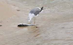 Fuertes olores y más peces muertos obligan a tomar muestras en el Piles