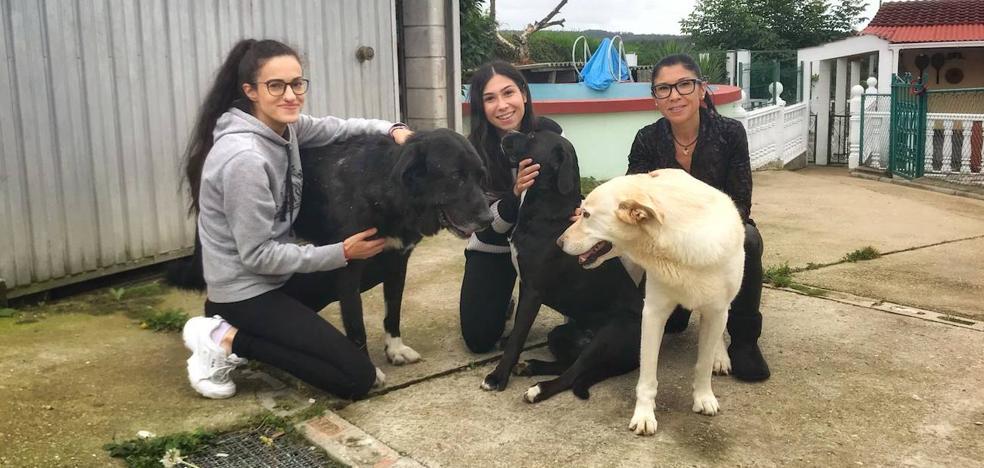 'Timón', el mastín enfermo de Cangas, encuentra una familia