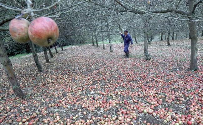 «La avispa asiática es un peligro para los cosecheros de manzana»