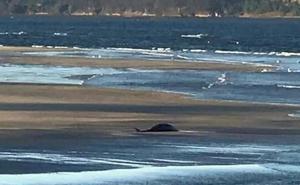 Muere el cachalote encontrado en la ría del Eo