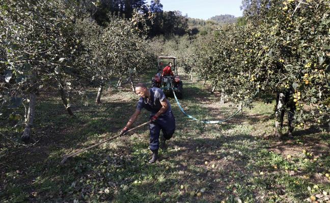La cosecha de manzanas de sidra alcanzará un récord histórico con diez millones de kilos