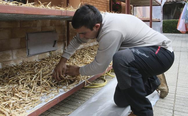 Los agricultores de Argüelles prevén recoger un 20% menos de fabes