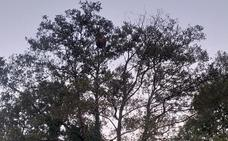 Hallan en Rozaes un nido de avispa asiática de un metro de alto