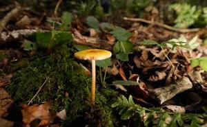 Las setas, protagonistas de los bosques