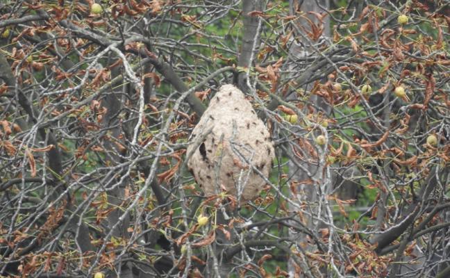 Aumentan las alertas vecinales por los nidos de vespa velutina en San Martín