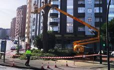 El riesgo de caída obliga a la retirada de cuatro árboles en Avilés