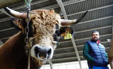 El toro 'Friki' alcanza los 3.050 euros en Cangas de Onís