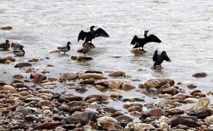 SEOBirdLife demanda al Principado por la muerte de 240 cormoranes