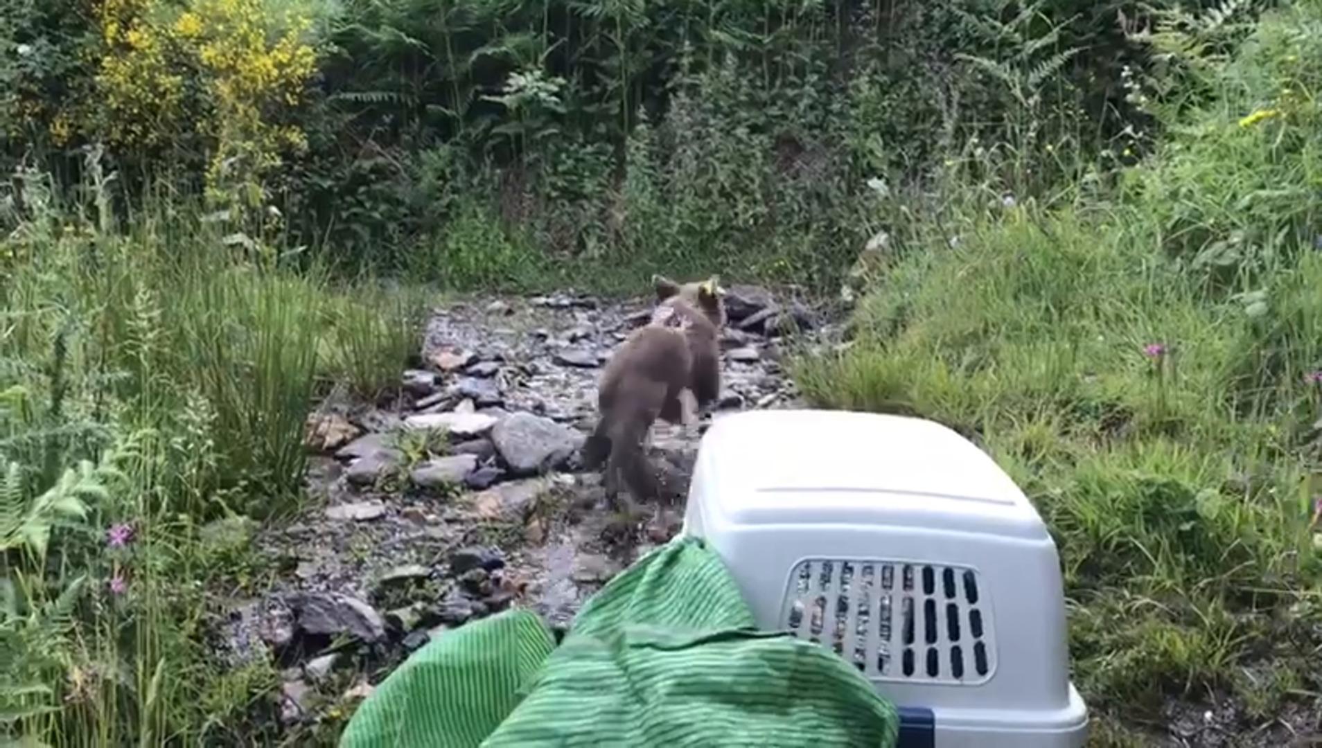 El Principado reintroduce una cría de oso pardo huérfana en el Parque de las Fuentes del Narcea