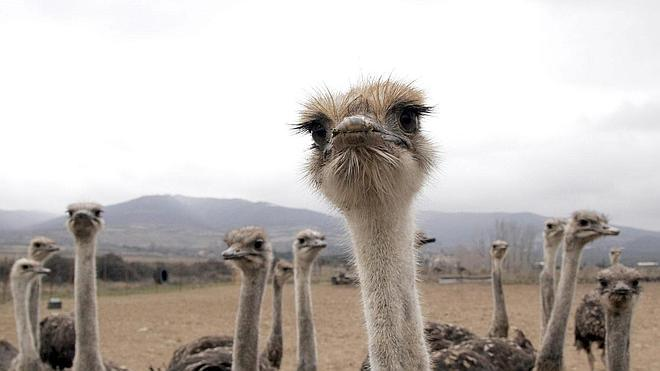 Las avestruces llegaron volando hasta África hace 50 millones de años