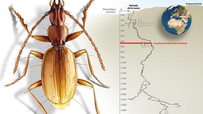 Hallan una nueva especie de escarabajo en la cueva más profunda conocida
