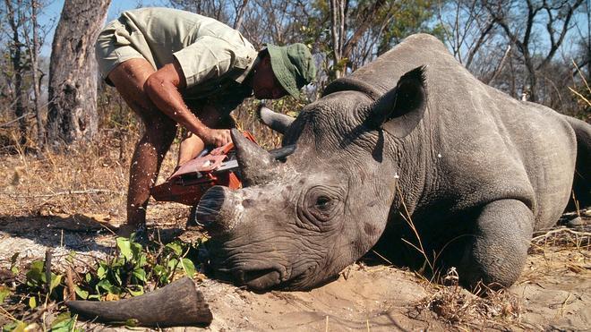 La caza furtiva de rinocerontes bate récords en Sudáfrica