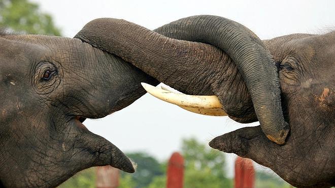 El café extraído de excrementos de elefantes vale oro en Tailandia