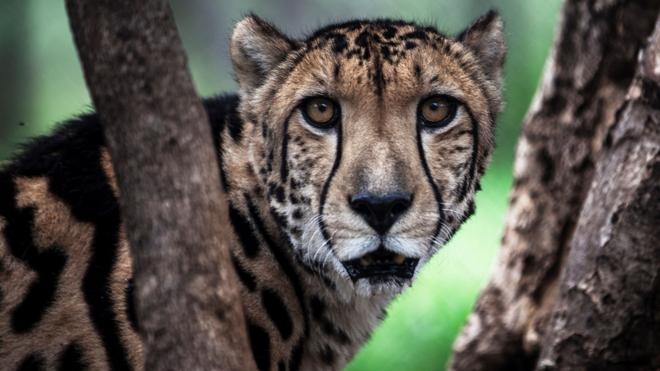 Movilización para salvar al guepardo, en peligro de extinción