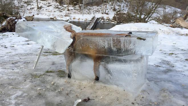 El zorro congelado por el temporal