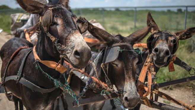 El tráfico de piel de burro para China diezma a estos animales en África