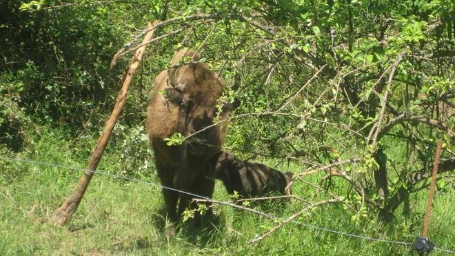 El primer bisonte en 10.000 años es macho