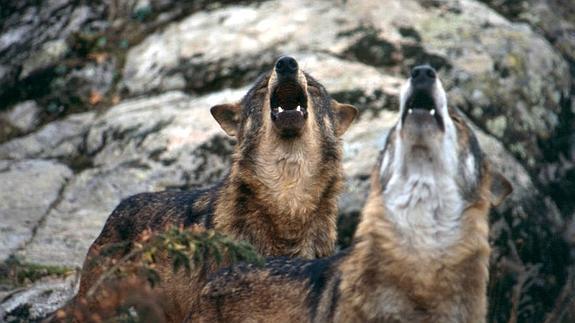 Imagenes De Lobos Cachorros